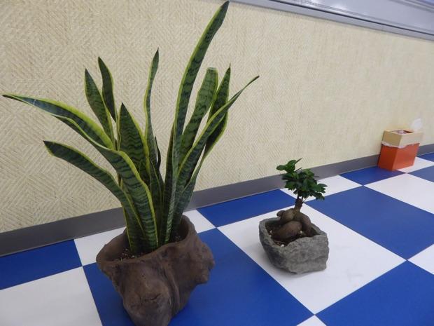 ウフル 植物
